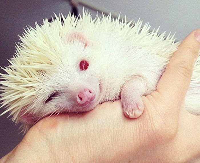 Chubby Albino Hedgehog That Eats Instead Of Hibernating
