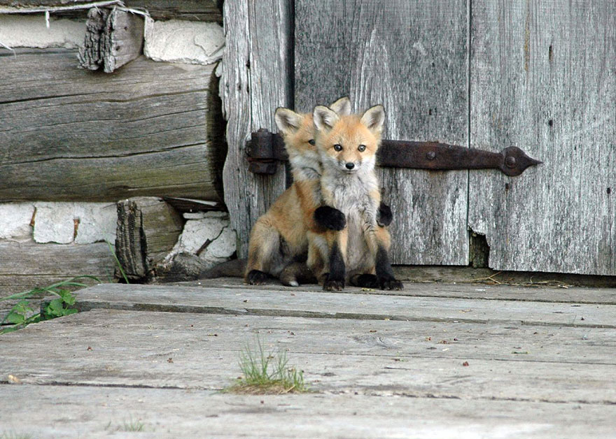 cute-baby-foxes-1-57443690cad50__880 (1)