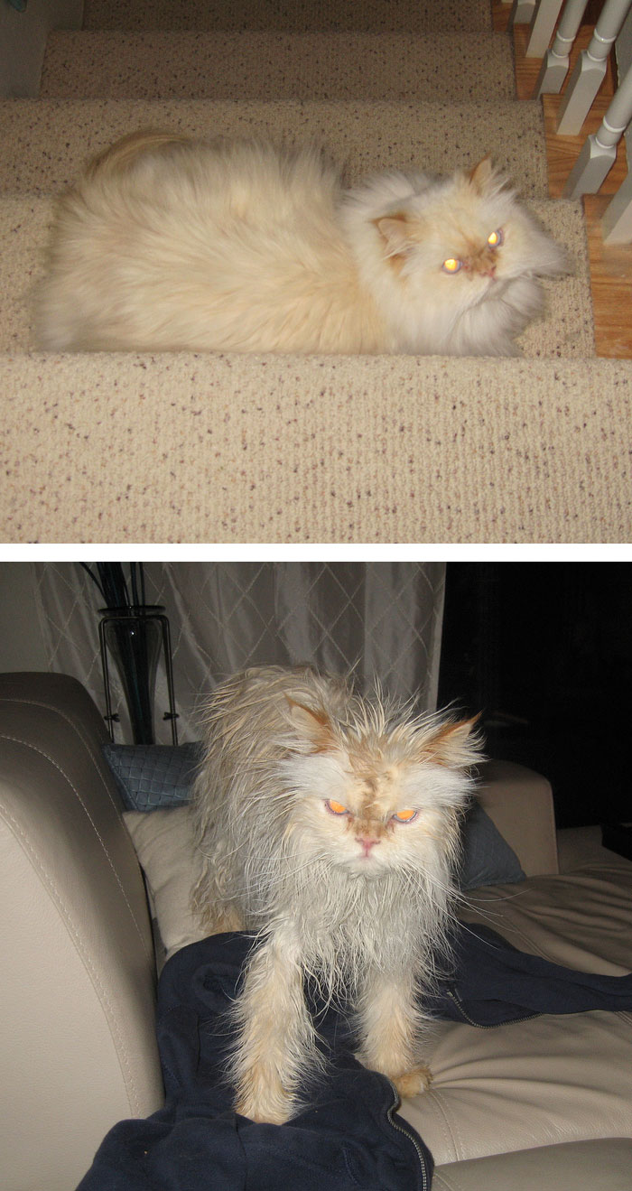 funny-wet-pets-before-after-bath-dogs-cats-50-5728b1898a058__700